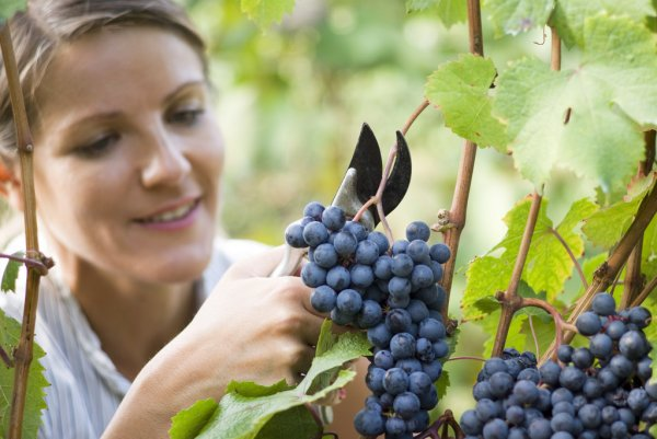 depositphotos_32032579-stock-photo-woman-picking-grapes